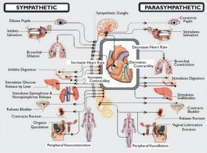 avtonomni živčni sistem