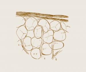 Maščobna celica sprosti maščobo.